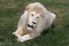 Leão branco imagem de stock