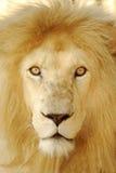 Leão branco africano imagens de stock