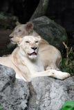 Leão branco fêmea que encontra-se na rocha Imagens de Stock Royalty Free