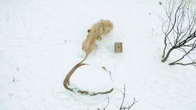 Leão branco que joga com as caixas na neve vídeos de arquivo