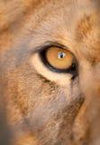 Leão com fome Fotografia de Stock