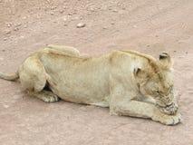 Leão com o espinho na pata em África Fotografia de Stock Royalty Free