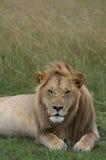 Leão com olhos entreabertos Imagens de Stock