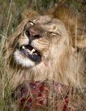 Leão com refeição Fotografia de Stock