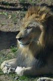 Leão com suas patas onduladas sob ele ao descansar imagens de stock