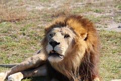 Leão com uma juba marrom-dourada imagens de stock