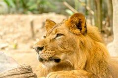 Leão considerável poderoso novo Imagens de Stock