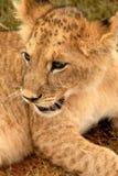 Leão Cub, África do Sul Imagem de Stock