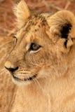 Leão Cub, África do Sul Fotografia de Stock