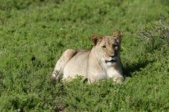 Leão Cub, África do Sul Imagens de Stock