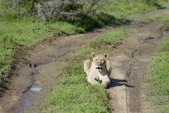 Leão Cub, África do Sul Foto de Stock