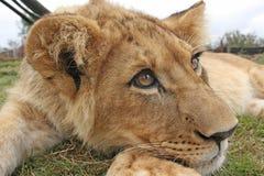 Leão Cub Fotografia de Stock