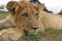 Leão Cub Fotografia de Stock Royalty Free