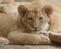 Leão Cub Imagem de Stock Royalty Free