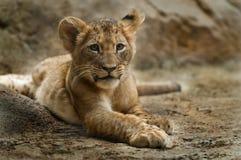 Leão Cub Foto de Stock