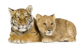 Leão Cub (5 meses) e filhote de tigre (5 meses) Fotos de Stock Royalty Free