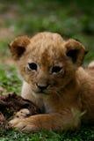 Leão Cub Imagens de Stock Royalty Free