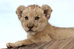 Leão Cub bonito Foto de Stock Royalty Free