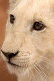 Leão Cub branco, África do Sul Imagens de Stock Royalty Free