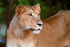 Leão Cub no parque nacional da floresta de Gir Imagens de Stock Royalty Free