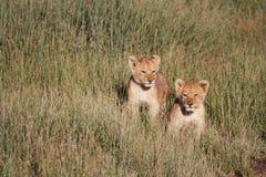 Leão Cubs Fotografia de Stock