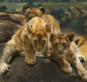 Leão Cubs Imagem de Stock