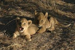 Leão Cubs Imagens de Stock