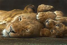 Leão da matriz e do bebê Fotos de Stock Royalty Free