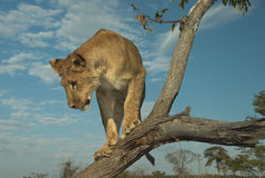 Leão de África (Panthera leo) Foto de Stock