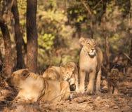 Leão de Asistic Fotos de Stock Royalty Free