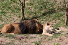 Leão de Barbary Imagem de Stock Royalty Free