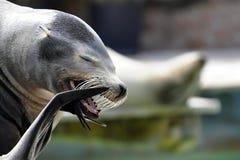 Leão de bocejo de sean Imagem de Stock Royalty Free