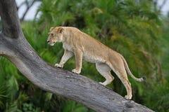 Leão de escalada da árvore Imagem de Stock Royalty Free