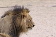 Leão de Kalahari Fotografia de Stock Royalty Free