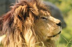 Leão de Kalahari fotografia de stock