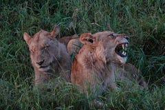 Leão de Kruger Imagens de Stock Royalty Free