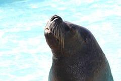 Leão de mar Fotografia de Stock Royalty Free