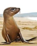 Leão de mar Imagens de Stock Royalty Free