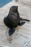 Leão de mar Imagem de Stock Royalty Free
