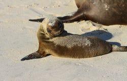 Leão de mar adorável do bebê fotos de stock royalty free