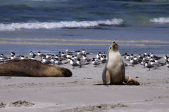 Leão de mar australiano Fotografia de Stock