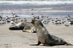 Leão de mar australiano (Neophoca cinerea) Imagens de Stock Royalty Free