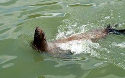 Leão de mar, cabeça fora da água Fotos de Stock Royalty Free