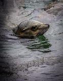 Leão de mar de Califórnia Foto de Stock