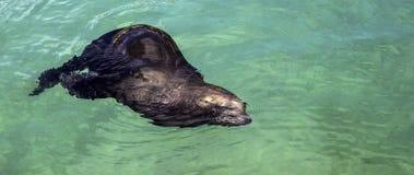 Leão de mar de Califórnia Fotos de Stock Royalty Free