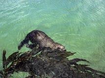 Leão de mar de Califórnia Imagens de Stock Royalty Free