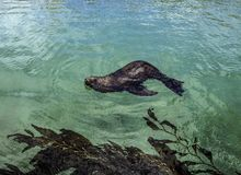 Leão de mar de Califórnia Imagens de Stock