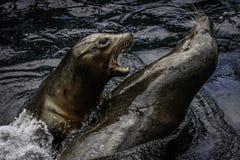 Leão de mar de Califórnia Fotografia de Stock