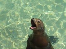 Leão de mar com o seu boca largamente aberta Foto de Stock Royalty Free