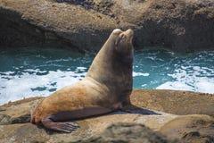 Leão de mar de Bull Imagem de Stock Royalty Free